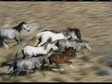 Wild Mustangs (Equus Caballus) Running Through a Desert
