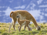 Guanaco  Lama Guanicoe  Calf and Grazing Mother on a Grassy Slope