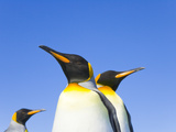 King Penguins Standing Together with Blue Sky in Background