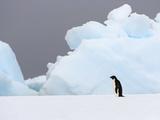 Adelie Penguin  Pygoscelis Adeliae  Standing Alone on an Iceberg