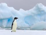 Alert Adelie Penguin  Pygoscelis Adeliae  on Snowy Iceberg Surface