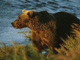 A Brown Grizzly Bear Sow Wades in Tall Grass at the River's Edge