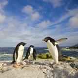 Adelie Penguins Standing and Walking on Coastal Rocks