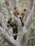 A Grizzly Bear (Ursus Arctos Horribilis) Cub Climbs a Willow Tree