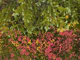 Autumn Hues Among Tundra Black Spruce Trees  Lichens  and Berry Bushes