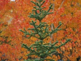 A White Spruce Tree Against Red Aspen Leaves