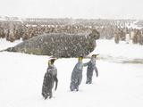 King Penguins and a Southern Elephant Seal Roaring in a Snow Storm