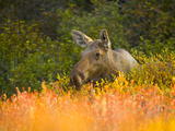 Moose Cow Largest Herbivore in North America  in Colorful Fall Tundra