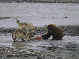 A Pack of Gray Wolves Defend their Moose Kill from a Brown Grizzly