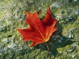 A Sugar Maple Leaf Displays Autumn Colors