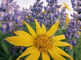 Wild Sunflowers in a Wild Lupine Field in Spring