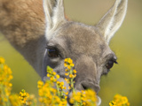Female Guanaco  Lama Guanicoe  Grazing on Yellow Wildflowers