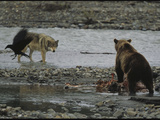 Standoff Between a Grizzly Bear  Wolf  and a Raven at a Moose Carcass