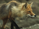 A Red Fox Prepares to Pounce on its Prey