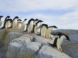 Adelie Penguins Preparing to Jump across a Deep Ravine