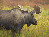 Young Bull Moose  Alces Alces  Walking in Tundra During Fall Rut