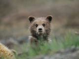 A Grizzly Bear (Ursus Arctos Horribilis) Cub Stares at the Camera