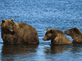 A Brown Grizzly Bear Sow with Cubs Fish for Salmon in a River
