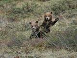 Grizzly Bear Cubs (Ursus Arctos Horribilis) Peep over Some Bushes