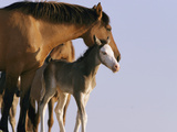 A Wild Mustang (Equus Caballus) Mare and Her Foal