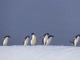 Group of Adelie Penguins  Pygoscelis Adeliae  Walking on Ice