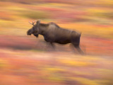 Young Bull Moose Walking in Colorful Autumn Tundra