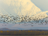 Migrating Sandhill Cranes  Grus Canadensis  and Snowy Alaska Range