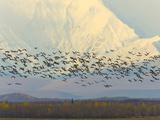 Migrating Sandhill Cranes  Grus Canadensis  and Snowy Alaska Range