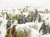 King Penguins and Chicks in Tall Tussock Grass  in a Spring Snow Storm