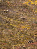Brown Grizzly Bear with Cubs  Eating Berries on Tundra Hillside  Fall