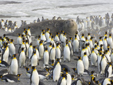 Southern Elephant Seal Bull Surrounded by King Penguins