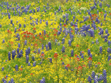 A Field of Texas Bluebonnets and Indian Paintbrush