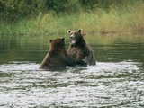 Two Male Brown Grizzly Bears (Ursus Arctos Horribilis) Sparring in the Salmon R River