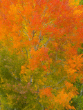 Colorful Quaking Aspen Trees During Peak Fall Foliage Change Papier Photo par John Eastcott & Yva Momatiuk