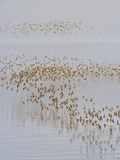 Migrating Semipalmated Sandpipers  Calidris Pusilla  Flying over Water