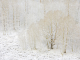 Aspen Trees with Snowy Branches after First Snow in the Sierra Nevada