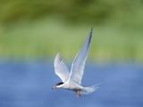 An Arctic Tern (Sterna Paradisaea) in Flight