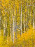 A Spectacular Grove of Yellow Aspen Trees Near the Alaska Highway Papier Photo par John Eastcott & Yva Momatiuk