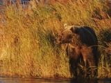 A Brown Grizzly Bear (Ursus Arctos Horribilis) Wades in the Tall Grass by the Salmon River