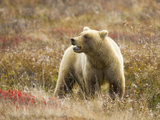 Alert Female Grizzly Bear Standing in Colorful Fall Tundra