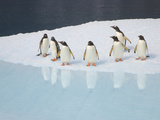 Gentoo Penguins  Pygoscelis Papua  on Iceberg and Reflections in Sea
