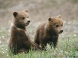 Two Grizzly Bear (Ursus Arctos Horribilis) Cubs Hang Out Together