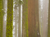 Giant Sequoia and Mossy Pine Trees in Heavy Fog after a Snow