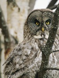 A Great Gray Owl  Perched in a Tree  Stares Directly at the Camera
