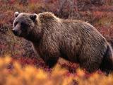 Grizzly Bear (Ursus Horribilis)
