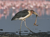 Marabou Stork Carrying a Flamingo Neck as Other Flamingos Feed Nearby