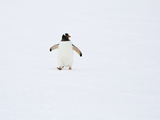 A Gentoo Penguin  Pygoscelis Papua  Walking in Snow