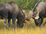 Two Young Bull Moose  Alces Alces  Sparring During Fall Rut