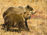 Brown Grizzly Bear Cubs Walking Together in Colorful Fall Tundra