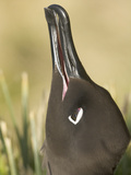 Close Up of a Light-Mantled Sooty Albatross  Phoebetria Palpebrata